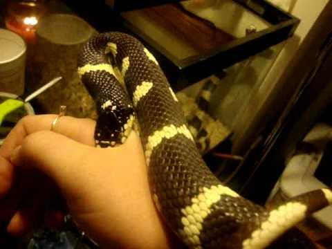 White Pet Snake