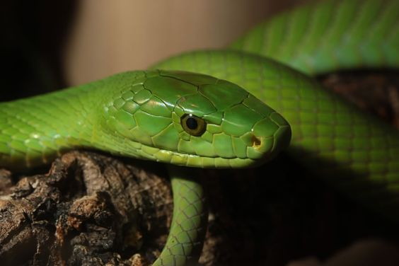 eastern green mamba facts and pictures