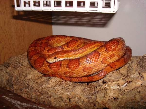 Corn Snake Facts And Pictures