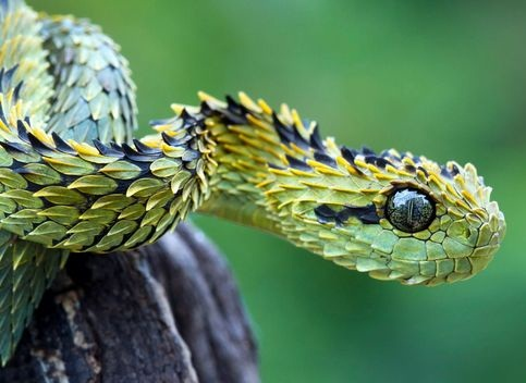 Hairy Bush Viper Facts and Pictures