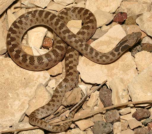 Texas Night Snake Facts And Pictures