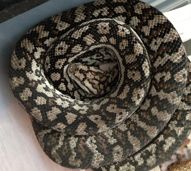 Inland Carpet Python Facts And Pictures
