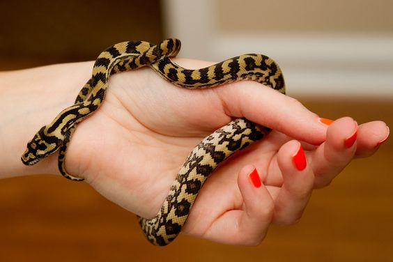 Jungle carpet python facts and pictures reptile fact for How long should carpet last
