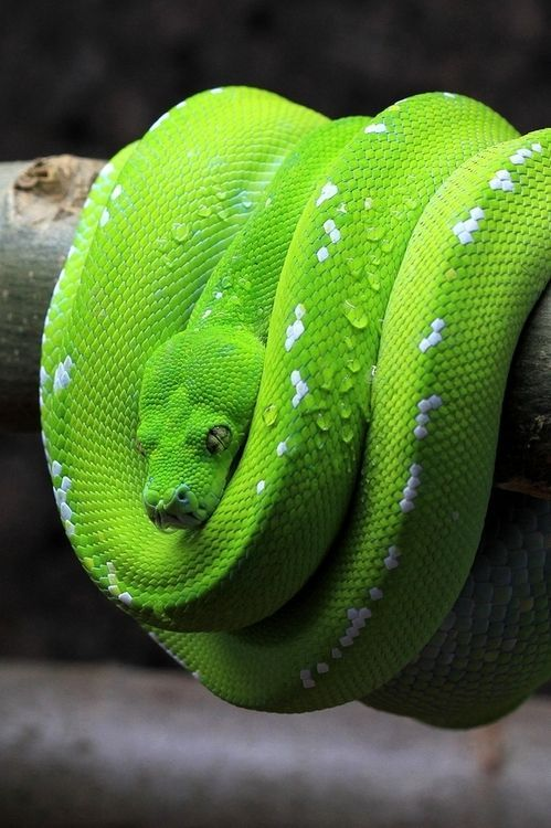 Green Tree Python Facts and Pictures