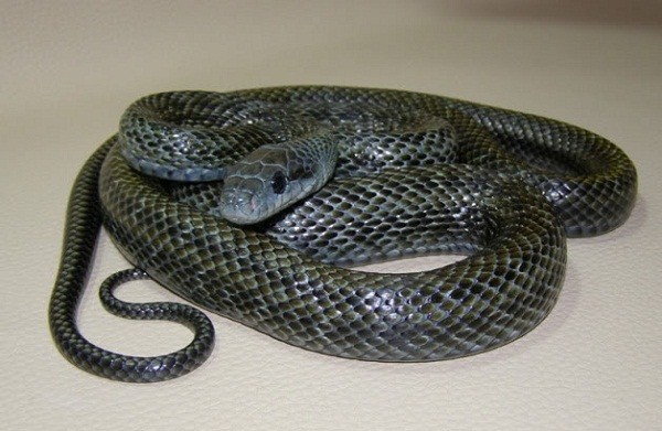Japanese Rat Snake Facts And Pictures