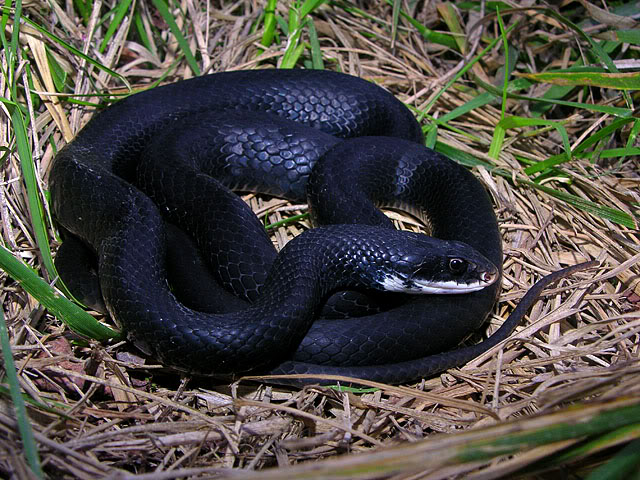 Southern Black Racer Facts And Pictures