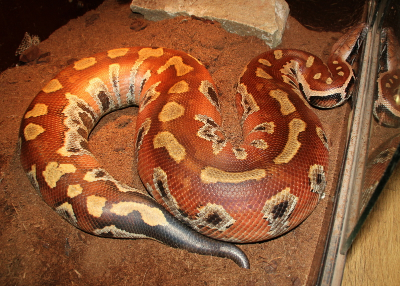 Blood Python Facts And Pictures
