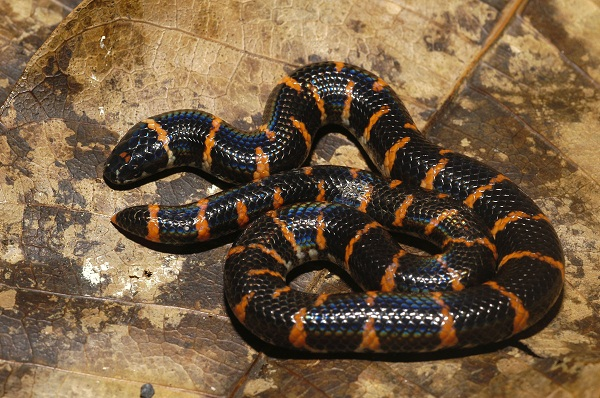 Talk:Cylindrophis ruffus
