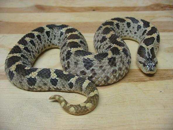 Southern Hognose Snake Facts And Pictures