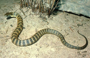 Tiger Snake Facts and Pictures - photo#18