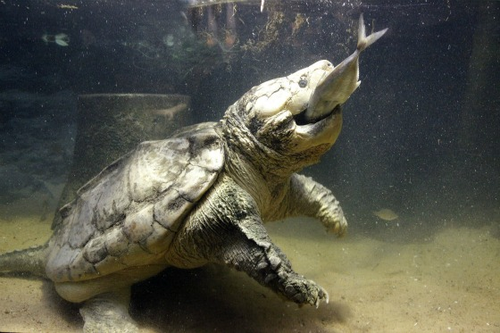 Alligator-Snapping-Turtle-Eating.jpg