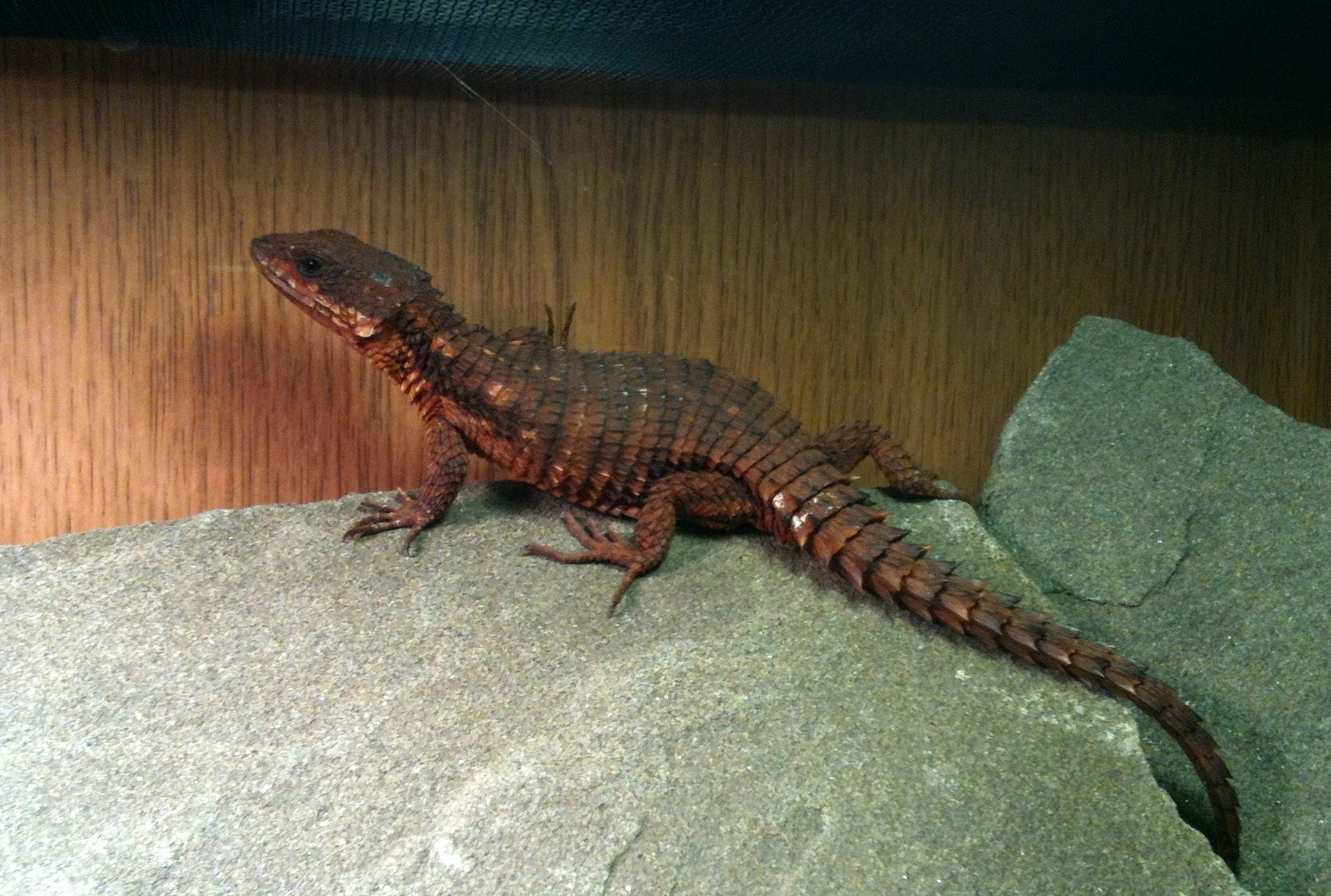 Armadillo Lizard Facts and Pictures