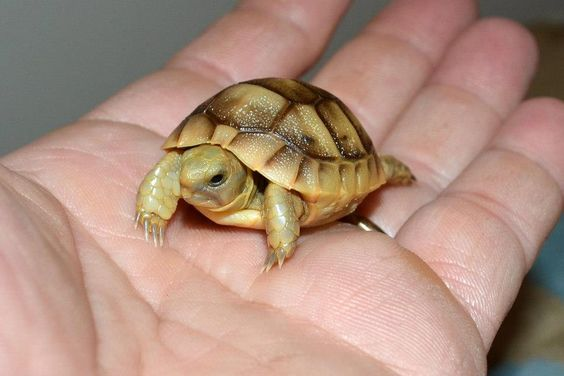 Russian Tortoise Facts And Pictures