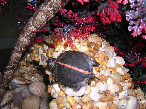 Southern Painted Turtle Facts and Pictures