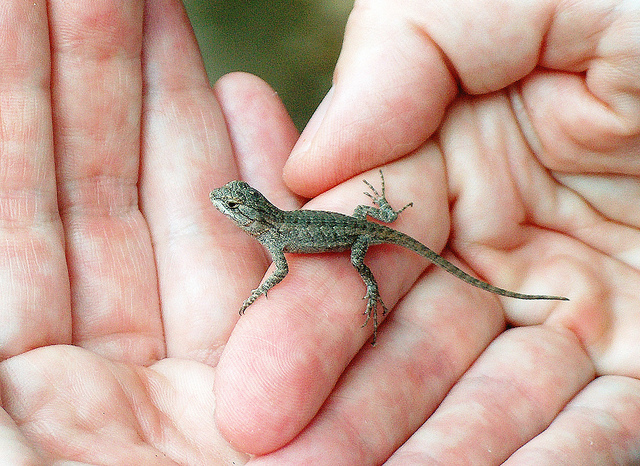 Blue Belly Lizard Facts And Pictures Reptile Fact