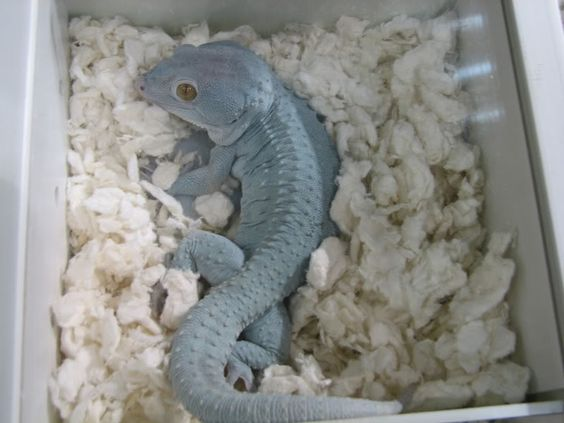 tokay gecko facts and pictures