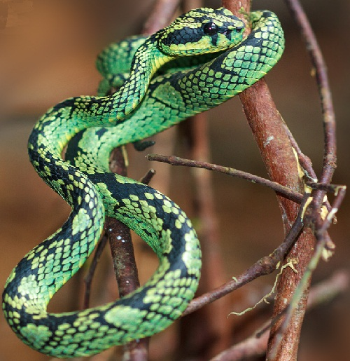 Sri Lankan Pit Viper Facts And Pictures