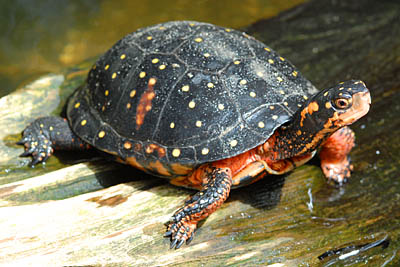 Spotted Turtle Facts And Pictures