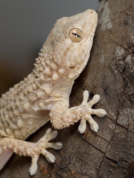 Crocodile Gecko Facts And Pictures