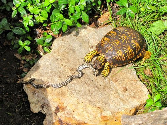 Eastern Box Turtle Facts and Pictures