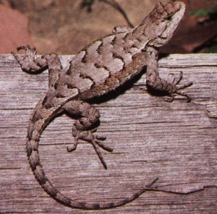 Eastern Fence Lizard Facts And Pictures Reptile Fact