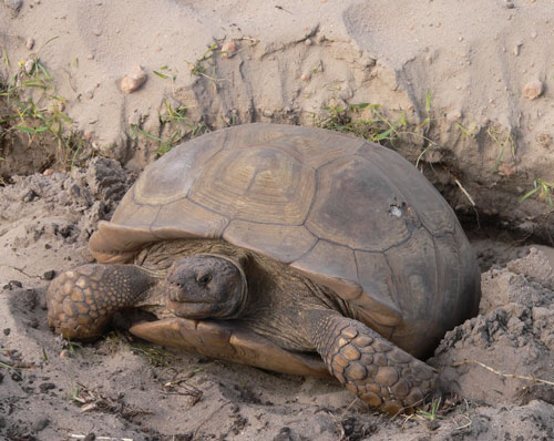 Sulcata Tortoise Facts And Pictures