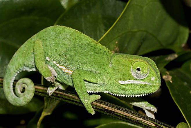 Flap Necked Chameleon Facts And Pictures
