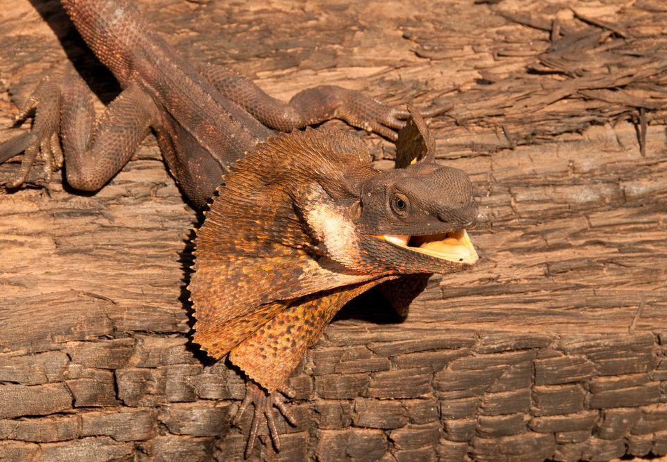 Frilled Lizard Facts And Pictures