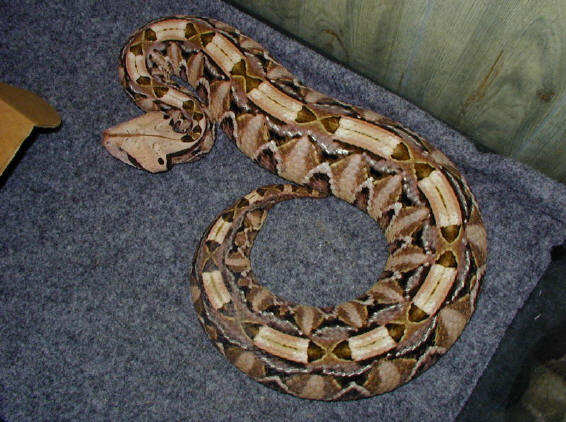 Gaboon Viper Facts and Pictures