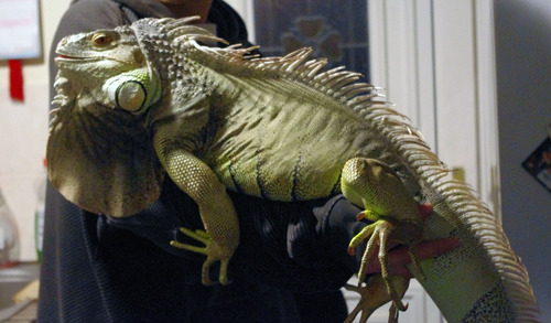 Green Iguana Facts And Pictures