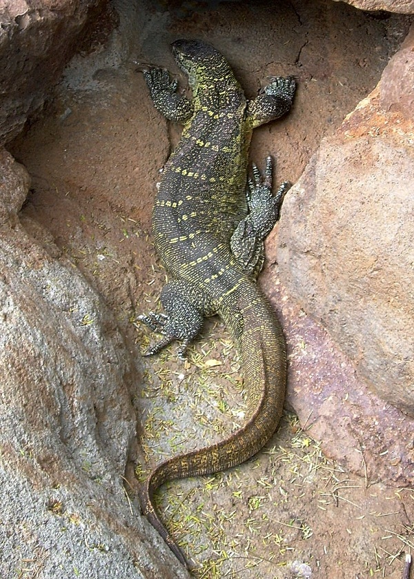 Nile Monitor Facts And Pictures