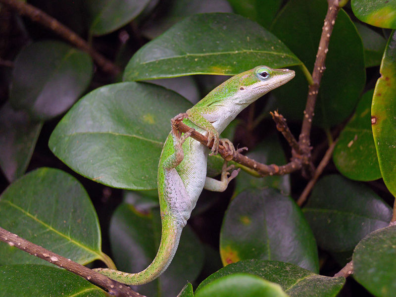 Green Anole Facts And Pictures