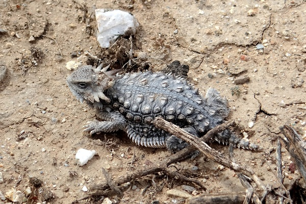 Regal Horned Lizard Facts And Pictures
