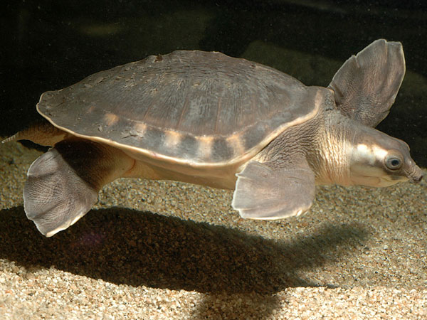 Pig Nosed Turtle Facts And Pictures