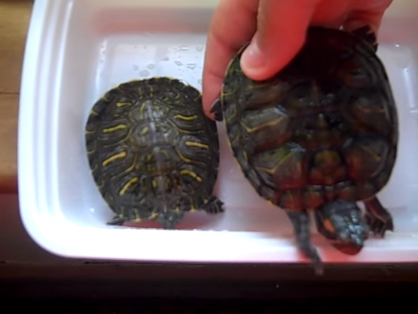 Red Eared Slider Facts And Pictures