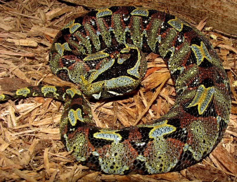 Rhinoceros Viper Facts and Pictures