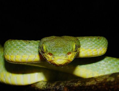 Characteristics of the Vipers Stejnegers-Bamboo-Pitvipers