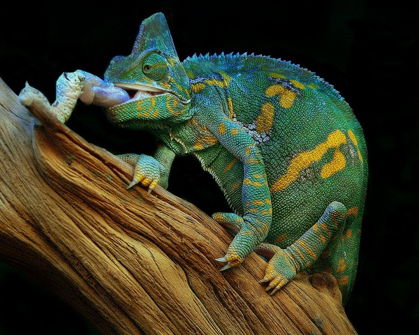 Veiled Chameleon Facts And Pictures