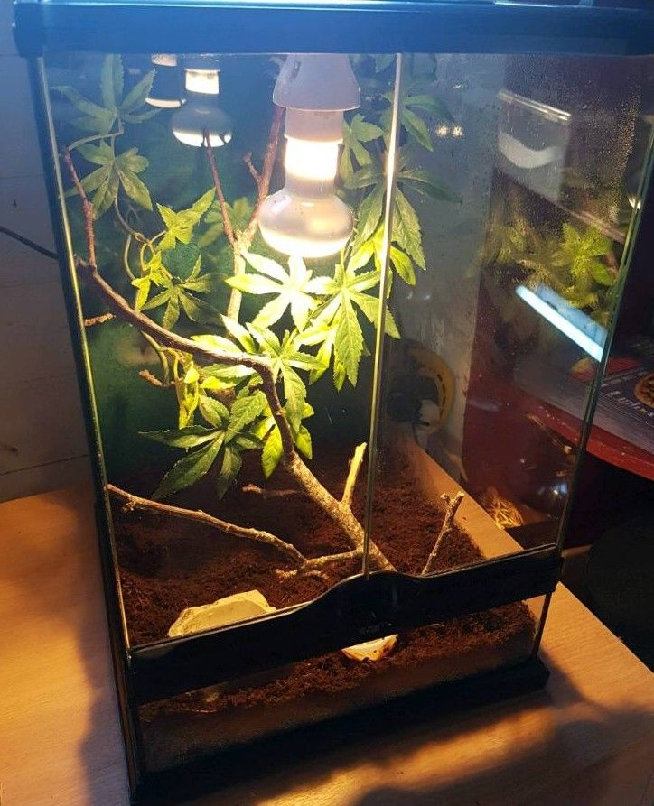 crested gecko facts and pictures