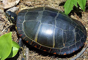 Eastern Painted Turtle Facts And Pictures