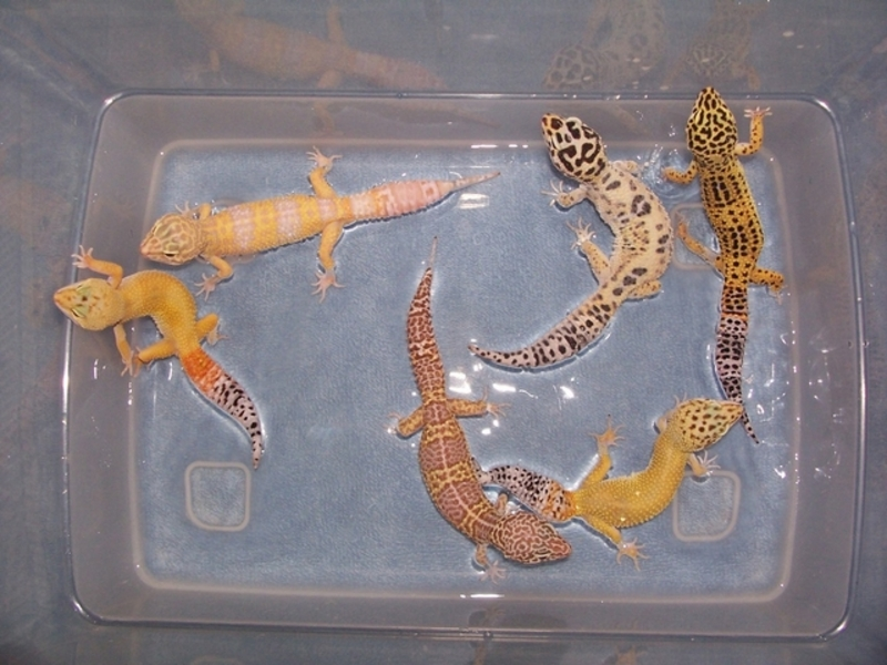 Leopard Gecko Facts and Pictures