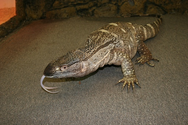Black Throat Monitor Facts And Pictures