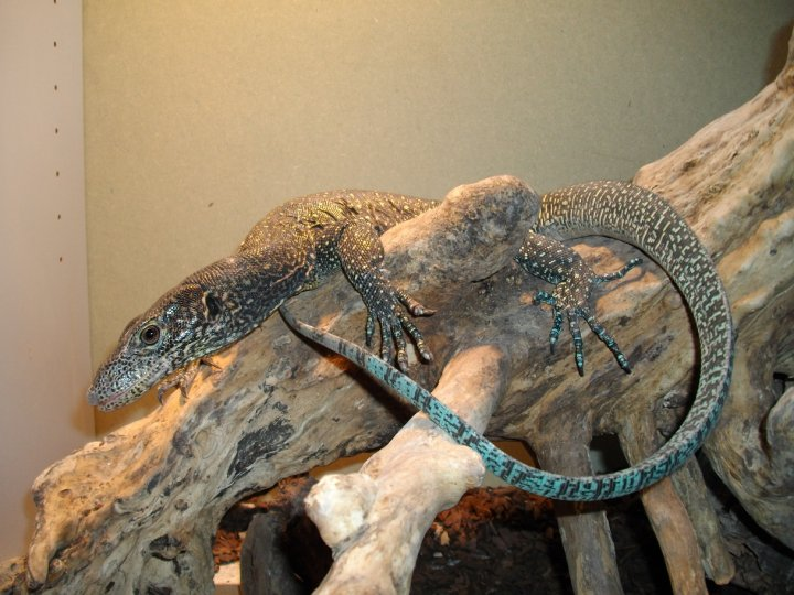 Blue Tailed Monitor Facts and Pictures