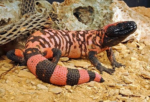 gila monster facts and pictures