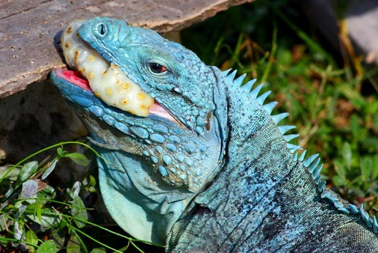 Blue Iguana For Sale : Blue iguana facts and pictures reptile fact