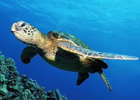 Green Sea Turtle Facts And Pictures