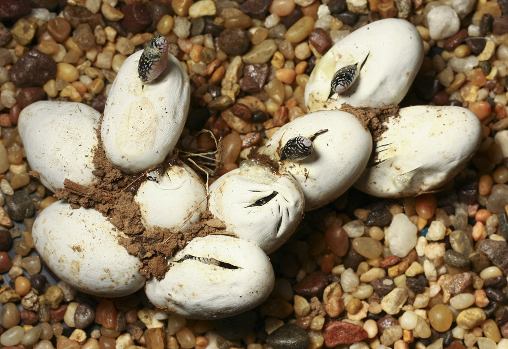 Speckled Kingsnake Facts And Pictures