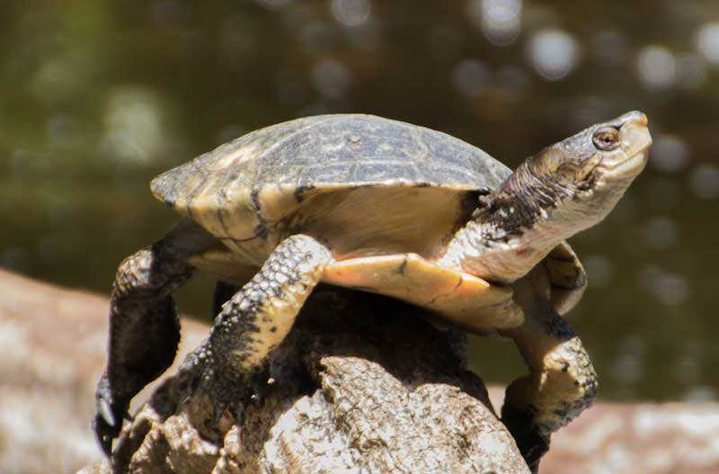 western pond turtle facts and pictures