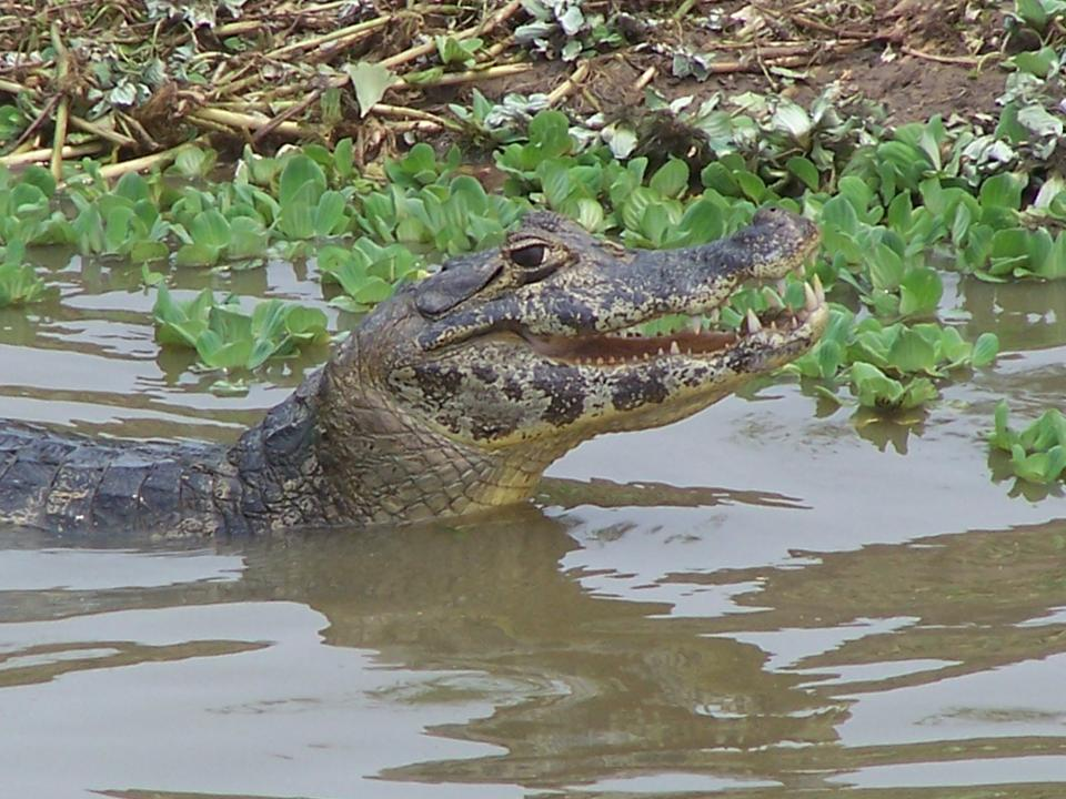 Yacare Caiman Facts and Pictures
