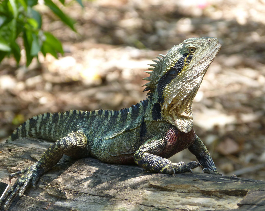 Australian Water Dragon: Australian Water Dragon Facts And Pictures